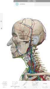 人体頭部血管
